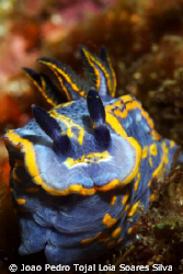 Full frontal nudi. A large Felimare fontandraui posing in... by Joao Pedro Tojal Loia Soares Silva 